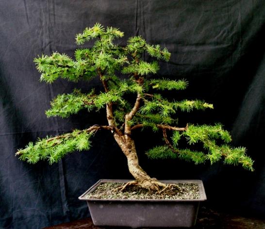 The_Japanese_Garden_Restyling_Bonsai_388A