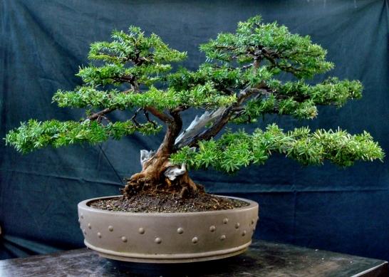 The_Japanese_Garden_Restyling_Bonsai_623A